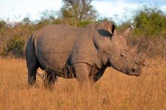 blanc de simum de rhinocéros de ceratotherium Photos stock