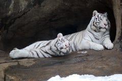 blanc de tigre Images libres de droits