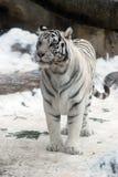 blanc de tigre Photos stock