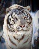 blanc de tigre Photos libres de droits