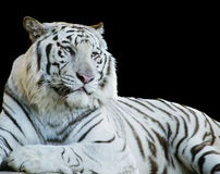 blanc de tigre d'isolement par noir Images stock