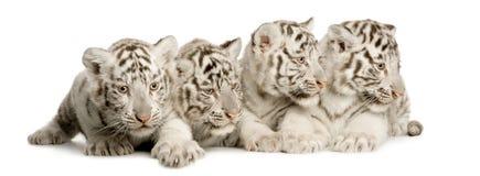 blanc de tigre de 2 mois d'animal Photo libre de droits