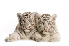 blanc de tigre de 2 mois d'animal Photographie stock libre de droits