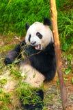 blanc de type de panda d'illustration de dessin animé d'ours de fond Image libre de droits
