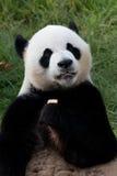 blanc de type de panda d'illustration de dessin animé d'ours de fond Images libres de droits
