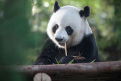 blanc de type de panda d'illustration de dessin animé d'ours de fond Photographie stock libre de droits