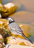 blanc de wagtail Photographie stock