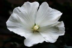 Blanc del hibisco Imagenes de archivo