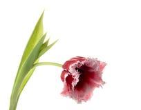 Blanc - dentelez une tulipe Photos libres de droits