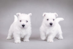 Blanc des montagnes occidental Terrier3 Photos stock