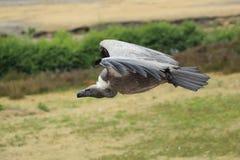 blanc desserré africain de vautour Images libres de droits