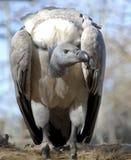 blanc desserré de vautour Images stock
