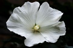 Blanc do hibiscus imagens de stock