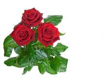 blanc du bouton de rose trois de fond Image libre de droits