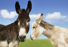 Blanc et ânes de Brown dans le domaine Image libre de droits