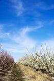 Blanc et arbres fruitiers roses Photos stock