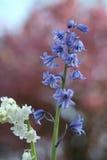 Blanc et bluebells Image libre de droits