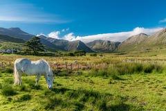 Blanc et cheval gratuit photos stock