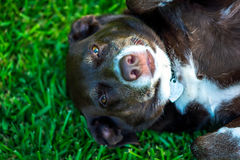 Blanc et chien de Brown s'étendant dans l'herbe Photos stock