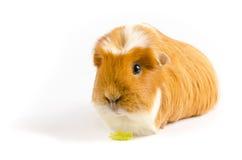 Blanc et Ginger Guinea Pig Wtih Lettuce Image libre de droits
