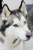 Blanc et Gray Adult Siberian Husky Dog ou Sibirsky Husky With Blue et yeux de Brown Heterochromia Image stock