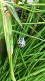 Blanc et insecte de dame repéré par noir Photos stock
