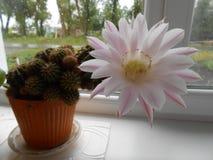 Blanc fleurissant de cactus Image libre de droits
