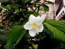 Blanc floral Photographie stock libre de droits