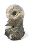 blanc fossile d'ammonite Images stock