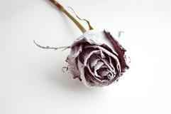 blanc gelé de rose Photos libres de droits