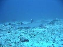 Blanc-Inclinez le requin Photo libre de droits