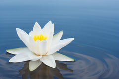 Blanc lilly sur le lac Photos stock