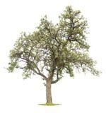blanc mûr d'arbre de pomme Photo libre de droits