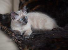 blanc mignon de chat Photo libre de droits