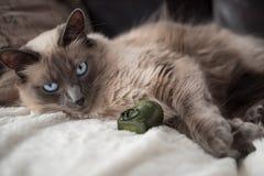 blanc mignon de chat Photographie stock libre de droits