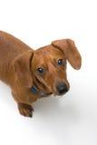 blanc miniature de série de dachshund Photographie stock