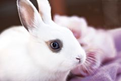 blanc nain de lapin Image stock