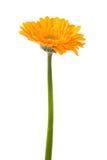 blanc orange d'isolement par gerbera de fleur de fond Images libres de droits