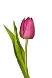 blanc pourpré de tulipe de fond Photo libre de droits