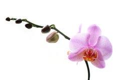 blanc repéré par rose d'orchidées d'isolement par fond Photos libres de droits