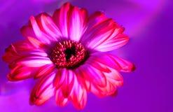 blanc rose d'isolement par gerbera de fleur de fond Photos stock