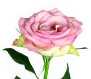 blanc rose de bouton de rose de fleur de fond Photographie stock libre de droits