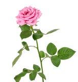 blanc rose de bouton de rose de fleur de fond Images stock