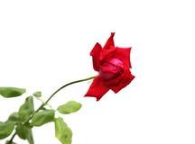 blanc rose de bouton de rose de fleur de fond Photographie stock