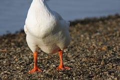 blanc sans tête d'oie Photo stock