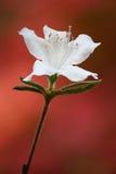 Blanc sur le rouge Photographie stock