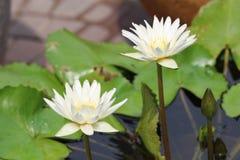 Blanc thaïlandais waterlily Images libres de droits