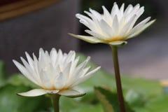 Blanc thaïlandais waterlily Image stock
