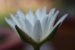Blanc thaïlandais waterlily Photos stock