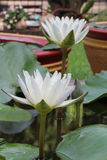 Blanc thaïlandais waterlily Photo libre de droits